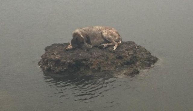 Собака забралась на камень в море, чтобы спастись от пожара (2 фото)