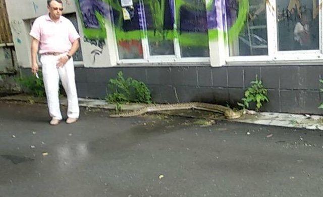 В Тюмени на улице обнаружили трехметрового питона (2 фото + видео)