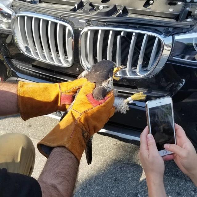 Спасение жизни сокола, застрявшего в автомобильной решетке радиатора (5 фото)