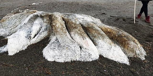 Останки неизвестного волосатого монстра выбросило на побережье Камчатки (5 фото + видео)