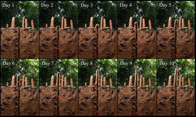 Необычные сооружения, которые строят амазонские цикады (4 фото)
