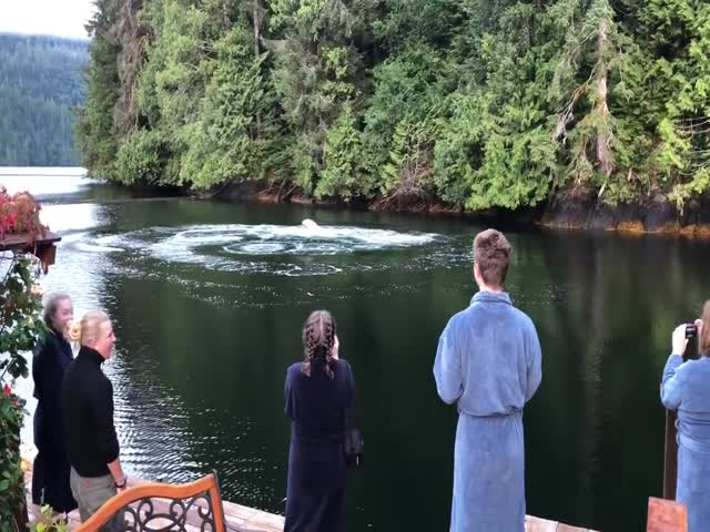 Горбатые киты удивили посетителей гостевого дома в Канаде