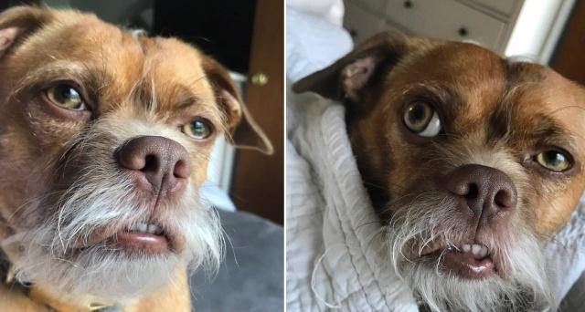 Забавный пес по кличке Бекон, обладающий необычной мимикой (10 фото)