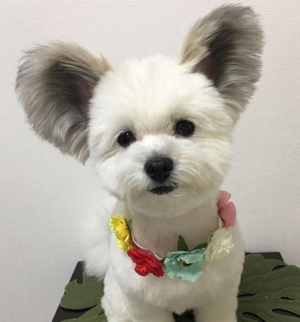 Песик Гома, ставший популярным благодаря своим большим ушам (12 фото)