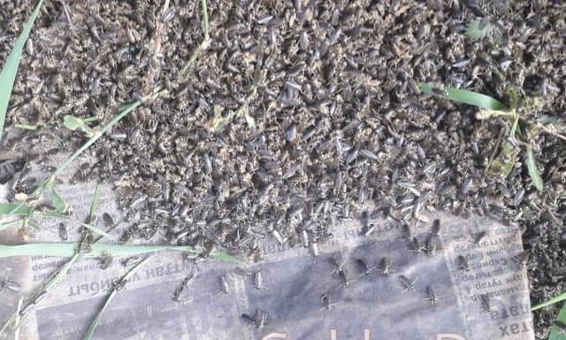 В якутском селе после дождя улицы оказались усыпаны странными насекомыми (2 фото + видео)