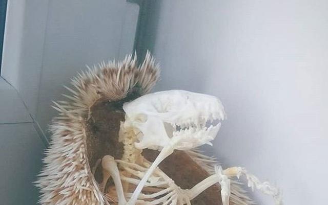 Как выглядит скелет ежа? (4 фото)