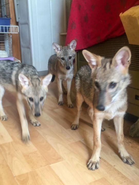 Женщина взяла из приюта щенков, которые оказались вовсе не овчарками, как ей сказали (3 фото)