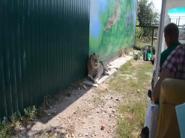 Добродушный лев требует ласки