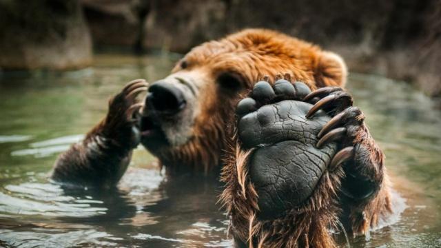 Когти медведя в сравнении с рукой человека (2 фото)
