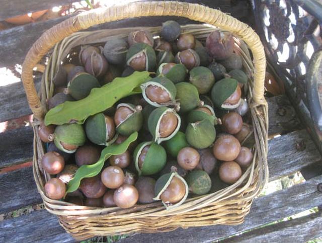 Макадамия - один из самых дорогих орехов в мире (5 фото)