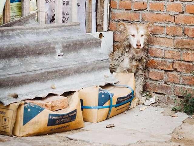 Несчастная хаски уже даже не рассчитывала на помощь от людей (9 фото)