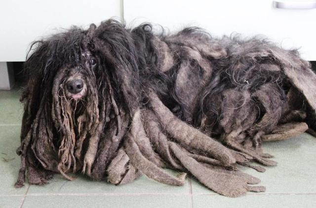 Зоозащитники спасли собаку, которая превратилась к сплошной комок шерсти (5 фото)