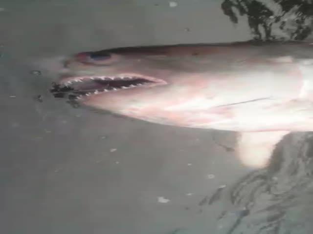 Рыбаки выловили акулу из реки Кама