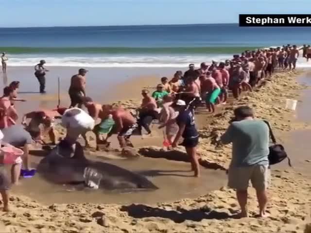Люди спасают большую хищную акулу