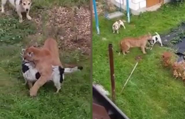 Сбежавшая пума бродила по подмосковной деревне и напала на собаку (2 фото + 3 видео)