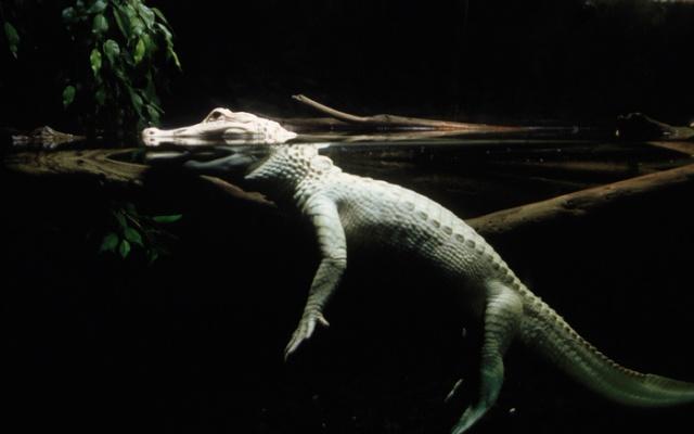 Как выглядит крокодил под водой? (3 фото)