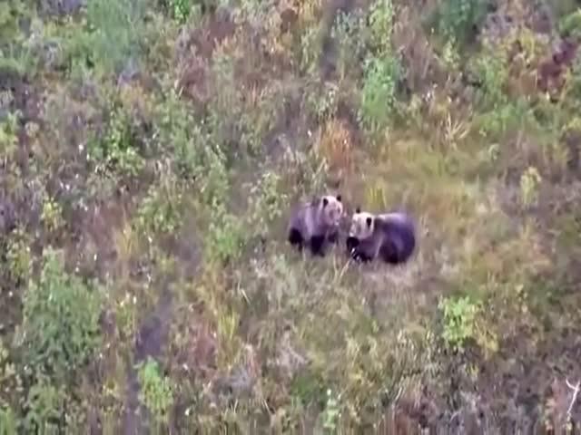Медведи обзавелись своим собственным псом
