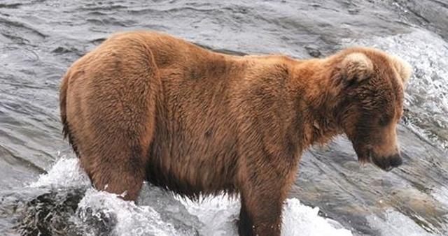 Конкурс на самого толстого медведя в национальном парке (2 фото)