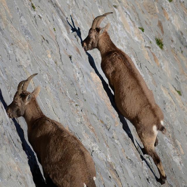 Отвесная плотина в Италии стала излюбленным местом для коз (4 фото)