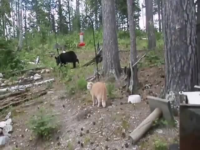 Бесстрашный рыжий кот запугал медведя