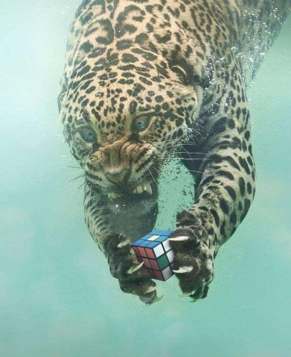 Фотожабы на леопарда, нырнувшего в воду (14 фото)