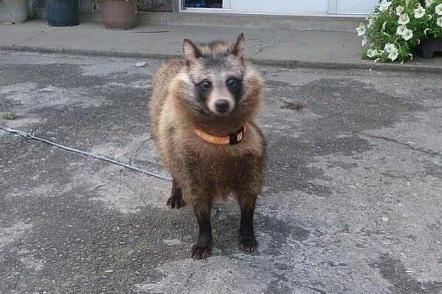 """Японец нашел странных котят, которые оказались """"щенками"""" (7 фото)"""