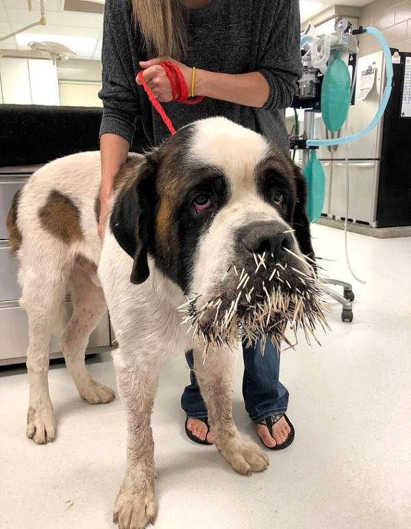 Неприятная встреча собаки с дикобразом (4 фото)