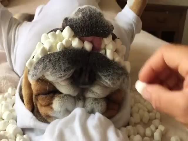 Собака с полным ртом зефирок