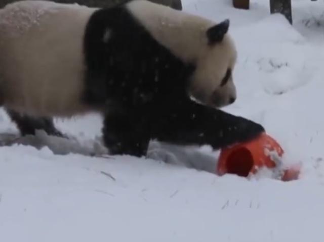 Панды радуются первому снегу в этом году