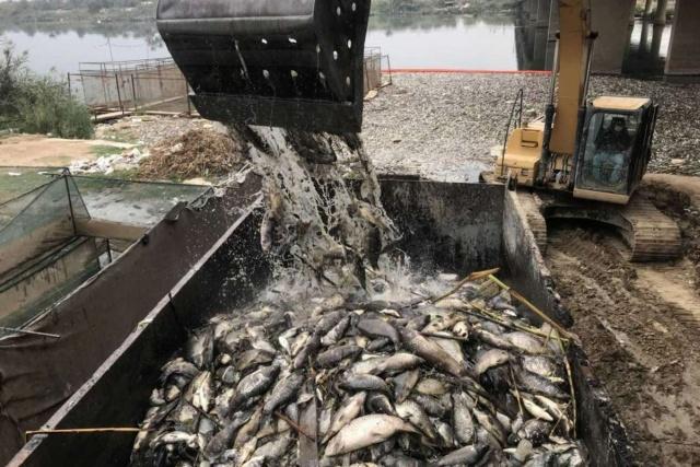 Тысячи тонн мертвой рыбы на берегах реки Евфрат в Ираке (7 фото)