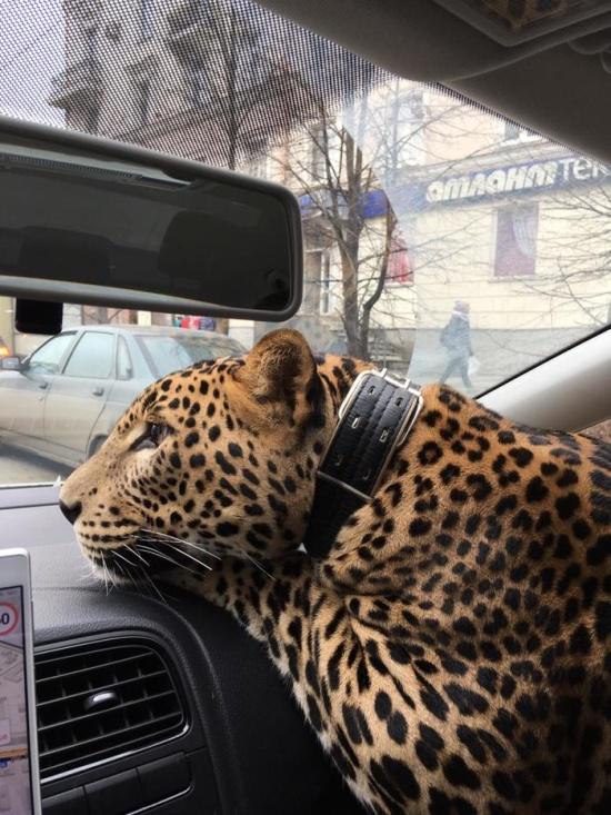 """Пассажир такси с """"большой кошкой"""" (3 фото + видео)"""