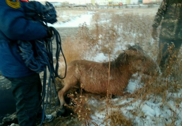"""Спасение лошади и жеребенка из """"ледяной ловушки"""" в Якутии (6 фото)"""