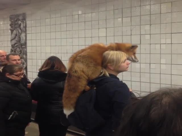 Девушка с лисой в московском метро