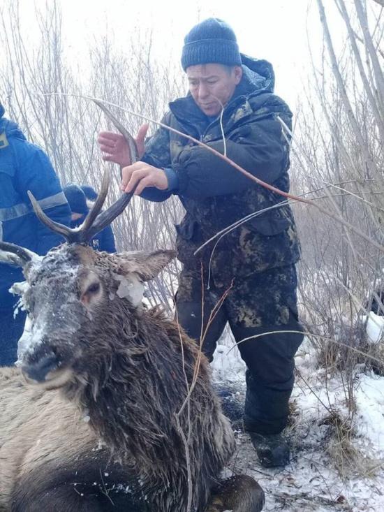 Алексей Балуев, глава Баргузинского района Бурятии, спас оленя, который провалился под лед (3 фото + видео)