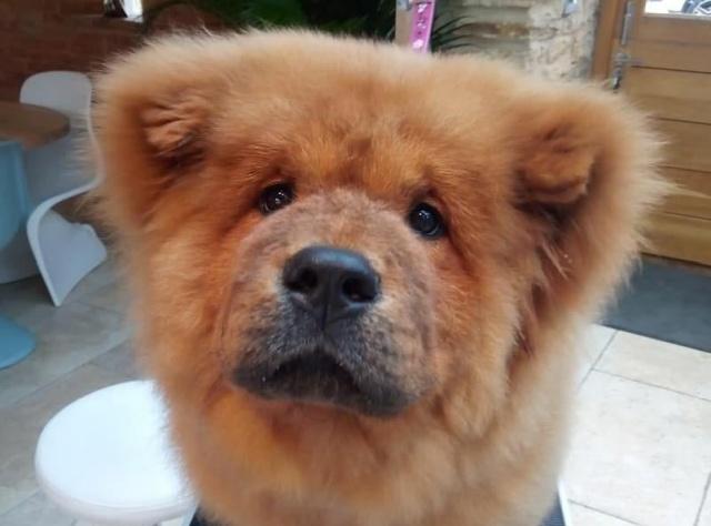 В Великобритании милый щенок Чау-Чау стал опасным преступником (5 фото)