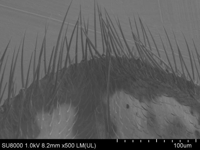 Давайте рассмотрим комара-долгоножку под электронным микроскопом (25 фото)