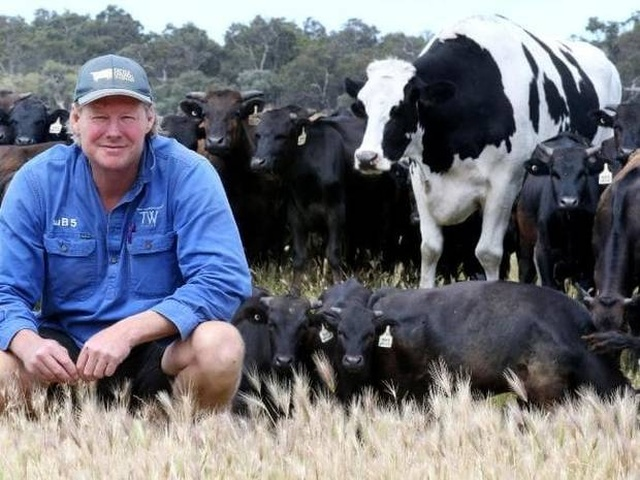 Knickers - самая массивная корова в Австралии (8 фото)