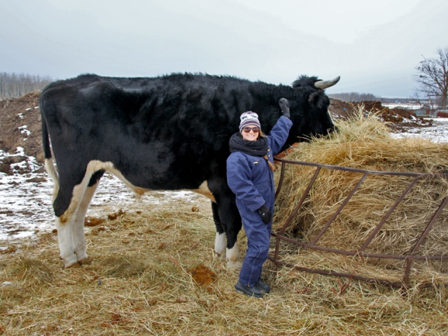 Дозер - огромный бык из Канады с ростом в 196 сантиметром (3 фото)