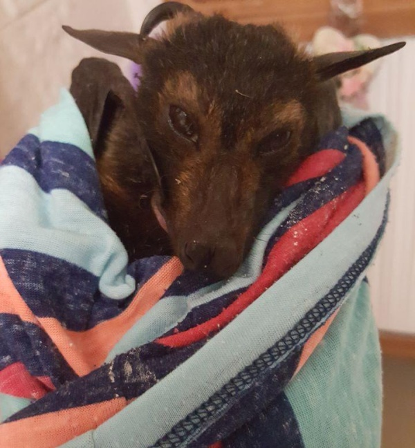 Австралийка была вынуждена переехать после того, как обнаружила несколько тысяч мертвых летучих мышей в своем дворе (4 фото)