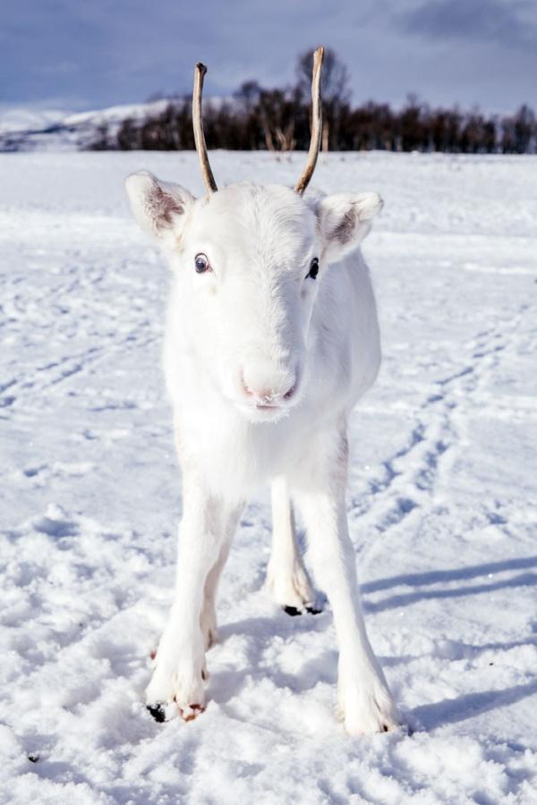 Уникальный белый олень попал на фото в Норвегии (5 фото)