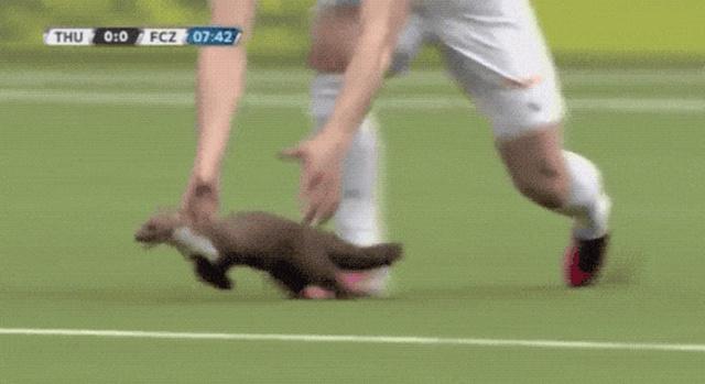Животные срывают спортивные состязания (17 гифок)