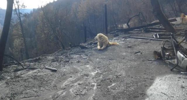 Пес по кличке Мэдисон почти месяц ждал хозяев у сгоревшего дома в городе Парадайс (3 фото)