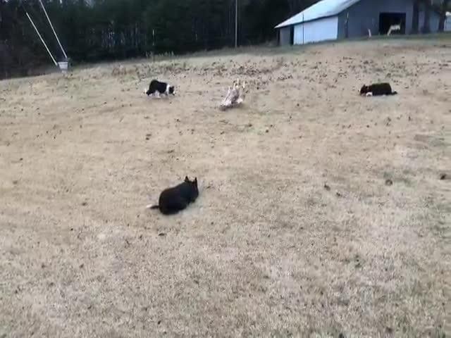 Мастер дрессировки собак 100 уровня