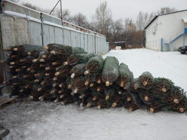 Житель Урала закупил у Ильи Варламова новогодние ёлки на 1,5 миллиона рублей, но бизнес провалился (6 фото)