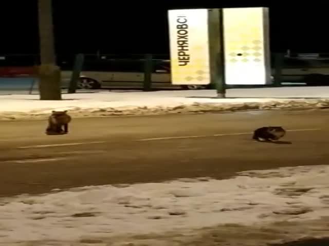 Пограничный конфликт: кот против лисы