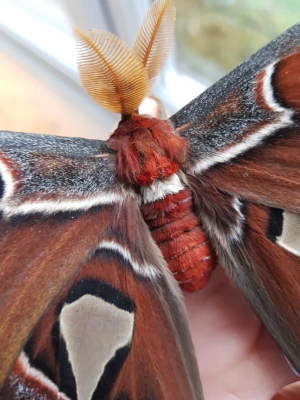 """Выведение бабочек """"Павлиноглазка атлас"""" в домашних условиях (9 фото)"""