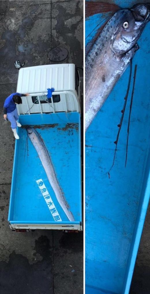 Предвестники катаклизма: жители обеспокоены появлением редких рыб у побережья Японии (4 фото + видео)