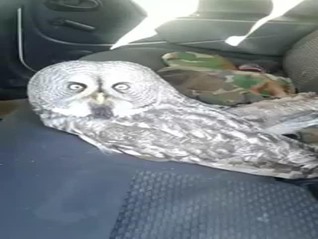 """Сотрудники """"Уралуправтодора"""" отогрели замерзающего совенка в своем автомобиле"""