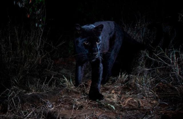 В Африке впервые за 100 лет в объектив камеры попал черный леопард (6 фото + видео)