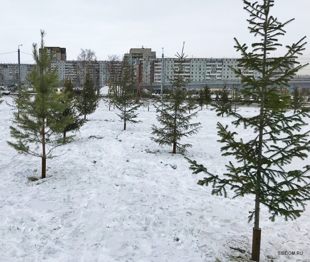 """Как в Красноярске """"озеленяли"""" город срубленными деревьями (5 фото + видео)"""